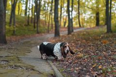 Basset Hound Dog Walks on Path. Autumn Background. royalty free stock photos