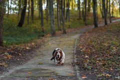 Basset Hound Dog Walks on Path. Autumn Background. stock photo