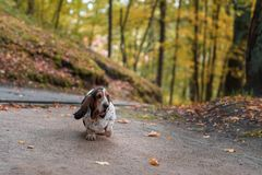 Basset Hound Dog Walks on Path. Autumn Background. Portrait stock images
