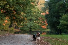 Basset Hound Dog Walks on Path. Autumn Background. stock photos