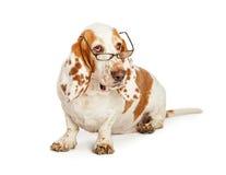 Basset Hound Dog Wearing Glasses Royalty Free Stock Photo