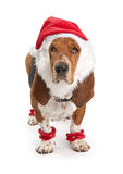 Basset Hound Dog Wearing Santa Outfit Royalty Free Stock Images