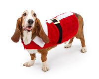 Basset Hound Dog Wearing a Santa Suit Royalty Free Stock Images