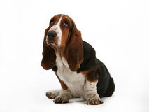 Basset hound stock photo