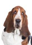 Basset hound dog on white stock photography