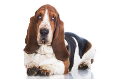 Basset hound dog on white stock images