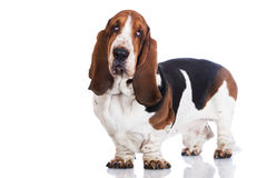 Basset hound dog on white Royalty Free Stock Images
