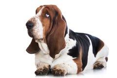 Basset hound dog on white royalty free stock photography