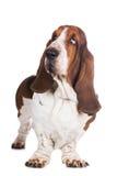 Basset hound dog on white stock image