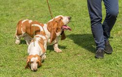 Basset hound dogs in the park. With owner stock photo