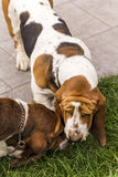 Basset hound dogs sniffing each other in the grass stock images