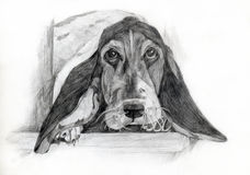 Basset Hound drawing portrait Royalty Free Stock Image