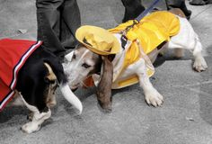 Basset Hound Dressed as Sailor Sniffing Butt at Halloween royalty free stock image