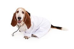 Basset Hound Dressed as a Veterinarian royalty free stock photo