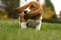 Basset Hound Ear's Blowing in the wind Stock Photography