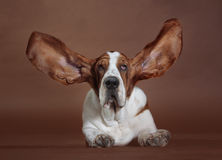 Basset hound ears dog. Basset hound with flying ears in studio Royalty Free Stock Image