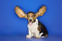 Basset Hound With Ears Extended. Basset hound with his ears flying away isolated over blue background royalty free stock photo