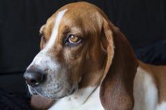 Basset Hound face. Basset Hound 3/4 stock photography