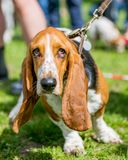 Basset Hound face portrait with big ears hanging down. Looking up. big eyes front view. Standing, walking or running in a busy park, field garden or meadow royalty free stock image
