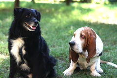 Basset hound and friend Stock Photo