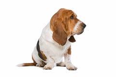 Basset hound Royalty Free Stock Photography
