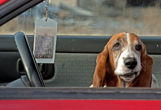 Basset Hound Funny Face. Keywords January 2012rnrnBasset Hound WelcomernrnAn old basset hound sitting in a car making faces stock images