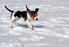 Basset hound funny. Basset hound puppy running in the snow with ears flapping looking funny stock photos