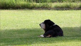 Basset Hound in garden stock footage