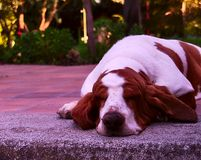 Basset Hound outdoors. Basset Hound in the garden, trees at the back, over ceramic tiles and concrete royalty free stock images
