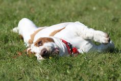 Basset hound on the grass Royalty Free Stock Photo