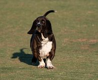 Basset hound on the grass at the park Stock Image