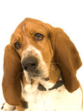 Basset Hound head tilted sad expression. A head shot of a Bassett Hound with its head tilted looking straight ahead, with a sad, appealing expression Royalty Free Stock Images