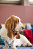 Basset Hound. Healthy purebred dog photographed royalty free stock photos