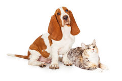 Basset Hound-Hond en Calico Cat Together Looking Up Stock Afbeeldingen