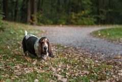 Basset Hound-Hondgangen op Weg stock foto's