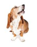 Basset Hound-Hund, der oben den Mund offen schaut Stockfotos