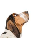 Basset Hound-Hund, der oben Nahaufnahme schaut Lizenzfreie Stockfotografie