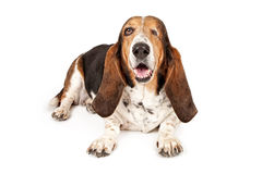 Basset Hound hund som missa ett öga Royaltyfri Fotografi