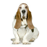 Basset Hound  -  Hush Puppies Stock Photos