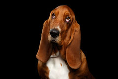 Basset Hound on Isolated black background Royalty Free Stock Photos