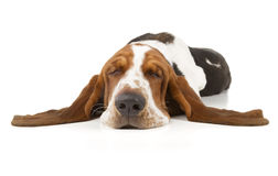 Basset Hound. Isolated on white background Royalty Free Stock Image