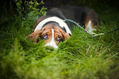 Basset hound laying and looks up Royalty Free Stock Image