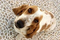 Basset hound. Little basset hound royalty free stock image