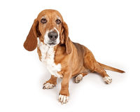 Basset Hound Looking forward. Basset Hound dog looking forward. Isolated on a white background royalty free stock images