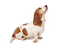 Basset Hound looking up royalty free stock photos