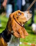 Basset hound looking up Royalty Free Stock Image