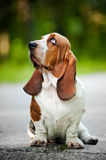 Basset hound looks up Stock Photo