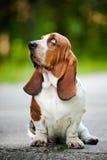 Basset hound looks up stock photo