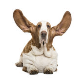 Basset Hound lying with ears up and looking at the camera Stock Images