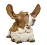 Basset Hound lying with ears up and looking rigth Royalty Free Stock Photography
